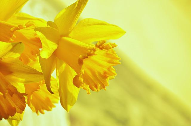 Daffodils Osterglocken Yellow 183 Free Photo On Pixabay