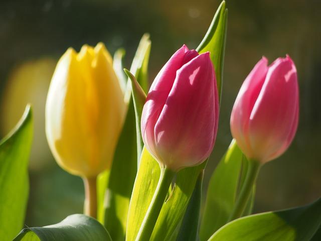 photo gratuite fleurs tulipes fleur printemps image. Black Bedroom Furniture Sets. Home Design Ideas