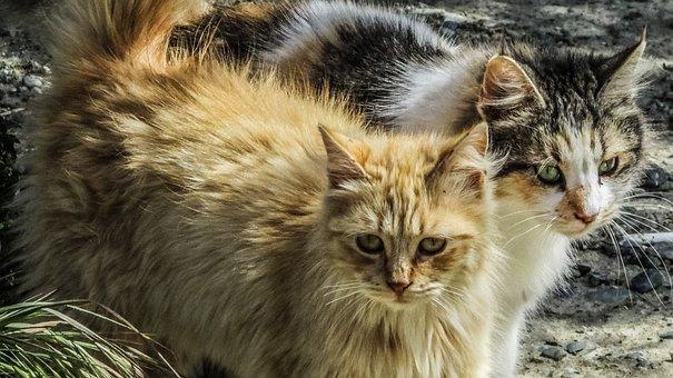 Gato, Vaguear, Animal, Peles, Bonito