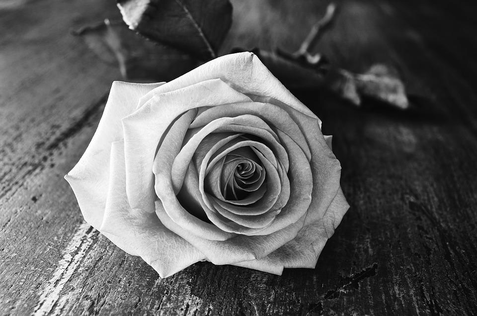 Rose flower black white