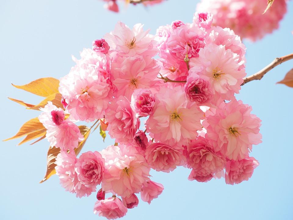 Fiore Di Ciliegio, Ciliegio Giapponese, Odore, Fiore