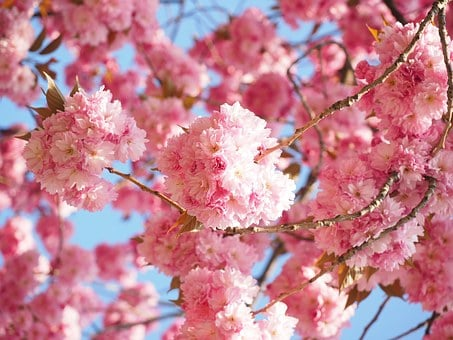 Cherry Blossom, Japanese Cherry, Smell