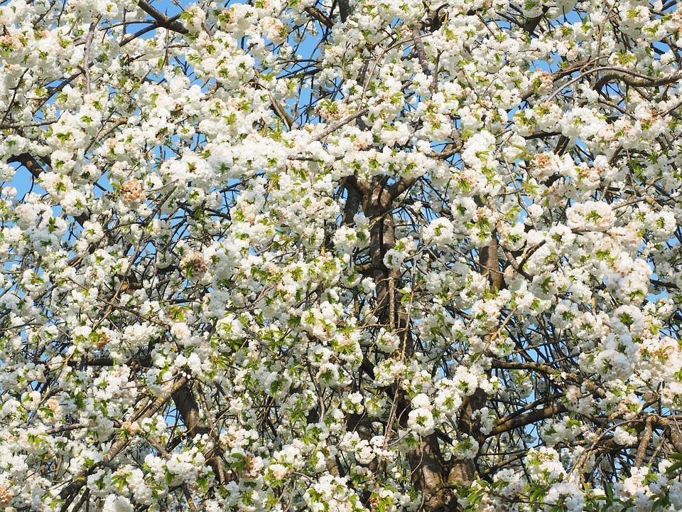 kirschbl te wei kirschbaum kostenloses foto auf pixabay. Black Bedroom Furniture Sets. Home Design Ideas