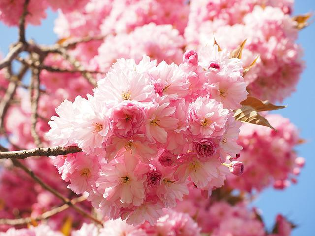 Cherry Blossom Japanese 183 Free Photo On Pixabay