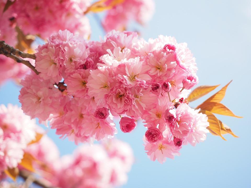 cherry blossom japanese 183 free photo on pixabay