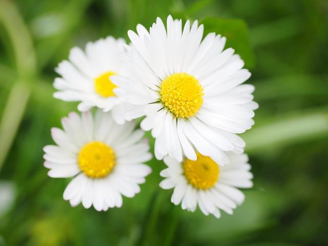 free photo daisy flower blossom bloom free image on