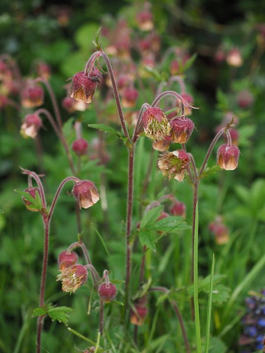 Pointed flower avens geum rivale free photo on pixabay pointed flower avens geum rivale geum roses mightylinksfo
