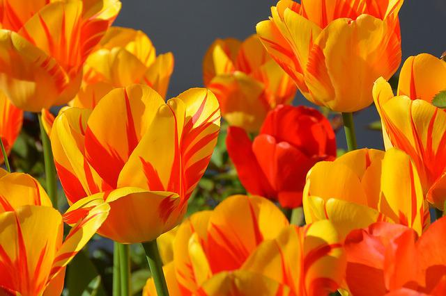 Free Photo Tulips Tulip Flower Flowers Red Free Image On Pixabay 1261142