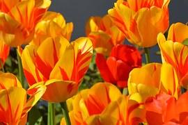 Tulips, Tulip Flower, Flowers, Red