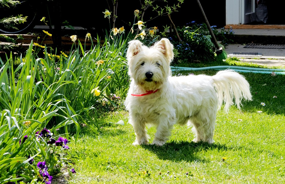Perro, West Highland White Terrier, Mascotas, Westie