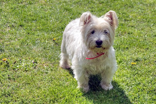 West Highland White Terrier Puppies For Sale in Virginia