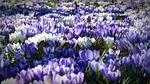 krokus, ogród, kwiaty