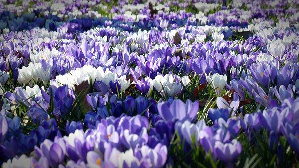 Crocus, Garden, Flowers