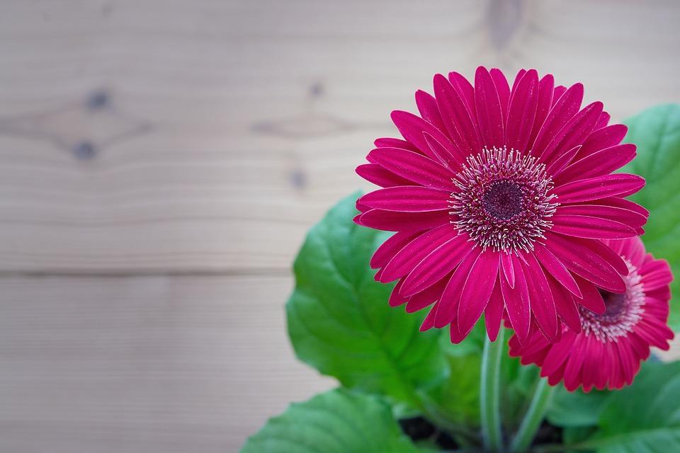 gerbera rosa flor foto gratis en pixabay