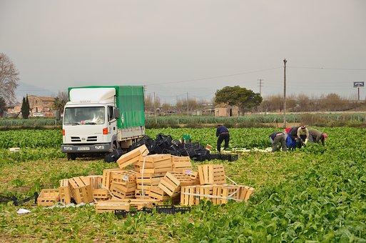 Agricultura, Recogida De Alcachofas