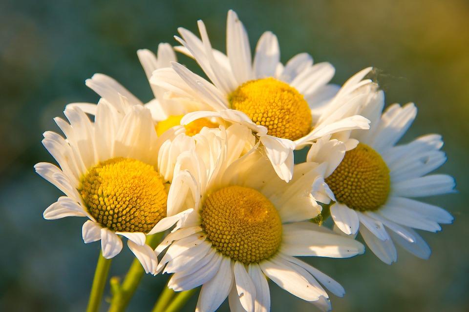 Фото ромашки полевые цветы