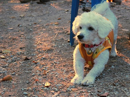 Bichon Frise, Dog, Pets, Cute, Breed