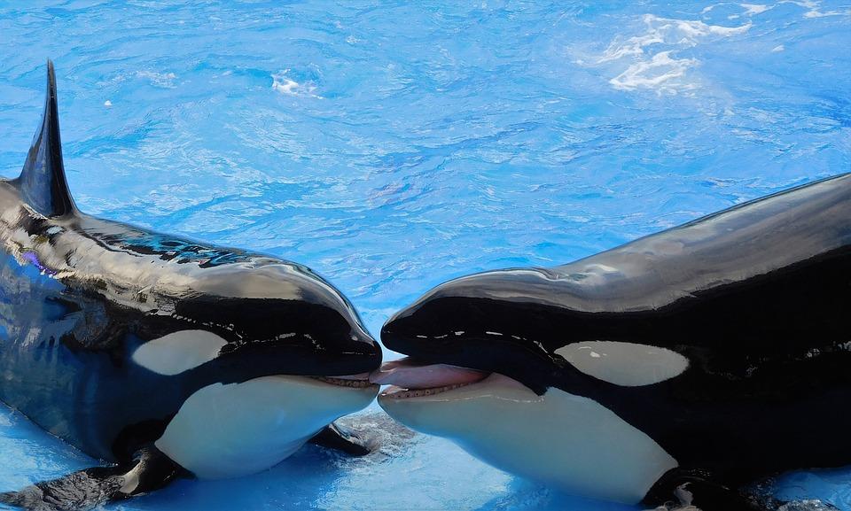 鲸鱼, 杀人鲸, 逆戟鲸, 动物, 显示
