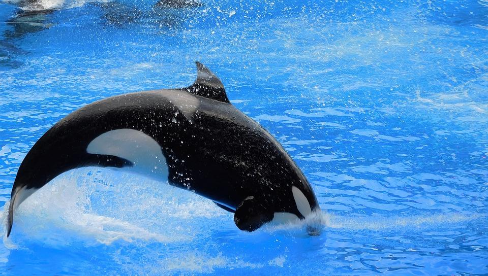 free photo orca killer whale show orca jump free