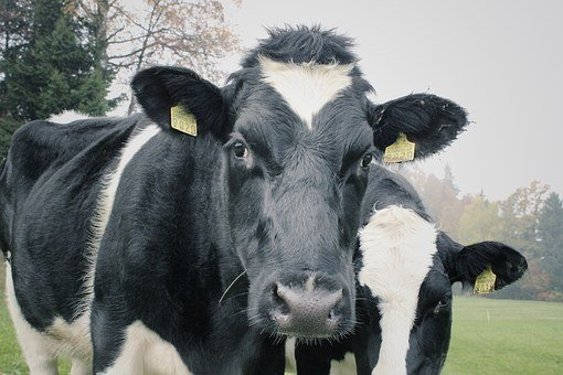 Cows, Two Cows, Dairy, Agriculture