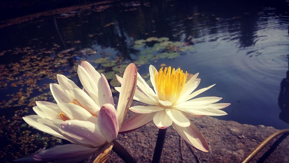 Fleur Lotus L Eau De Photo Gratuite Sur Pixabay