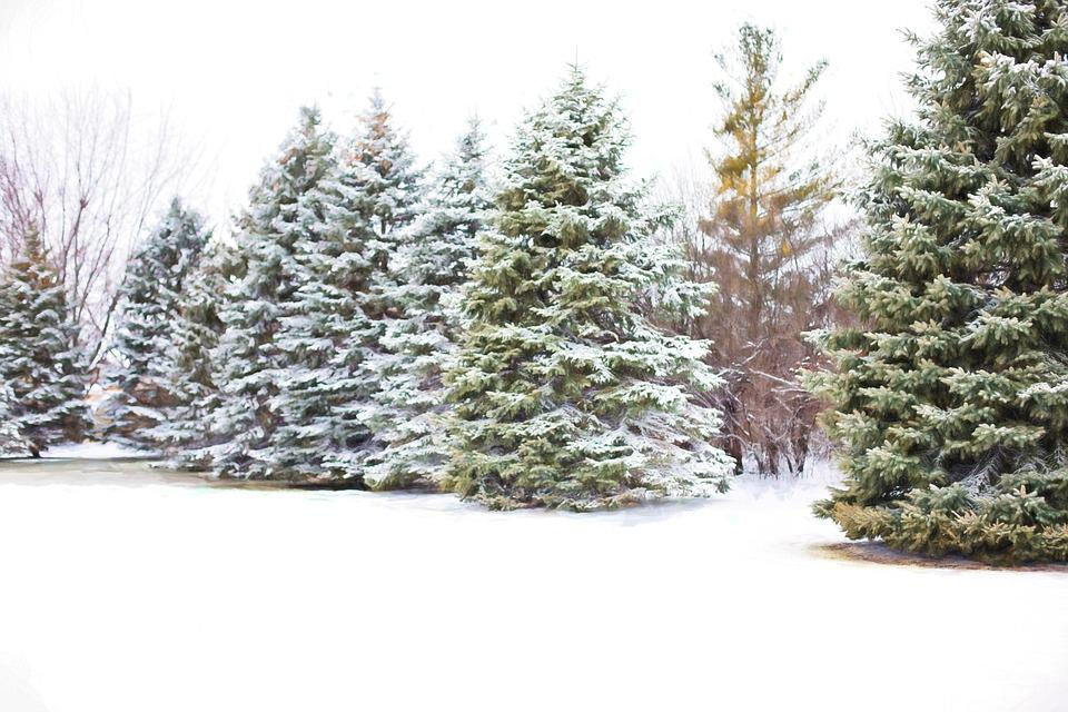 Pine trees evergreens snow in free photo on pixabay - Images of pine trees in snow ...