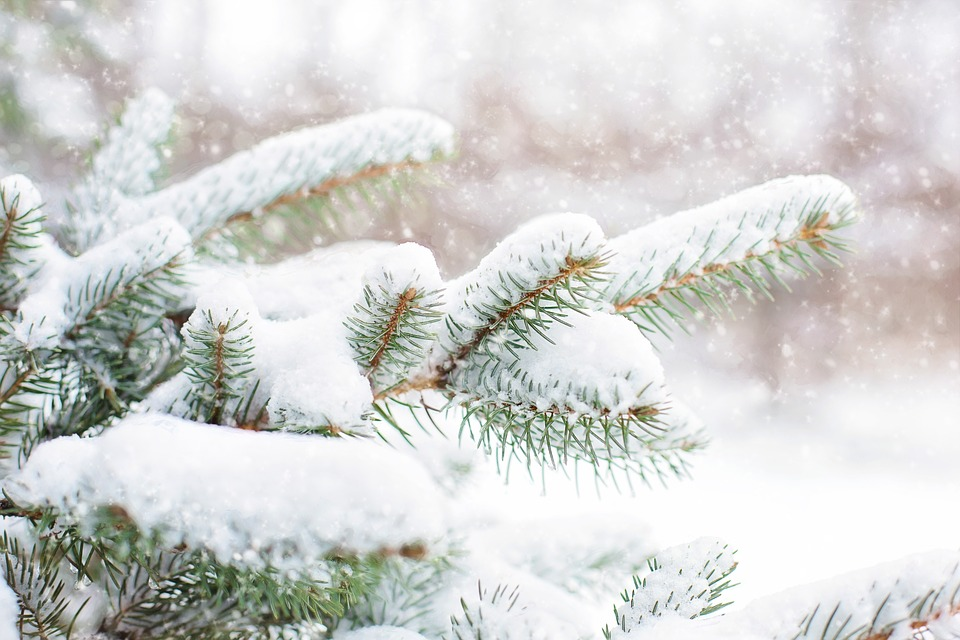 Free photo snow in pine tree pine branch free image on - Images of pine trees in snow ...