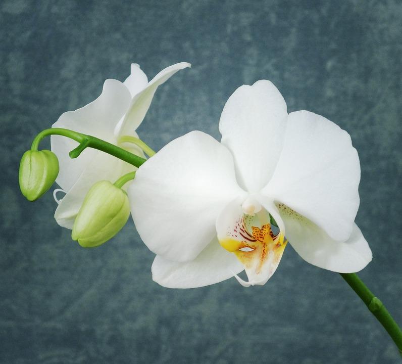 Souvent Photo gratuite: Orchidée, Orchidée Blanche, Fleur - Image gratuite  HT01