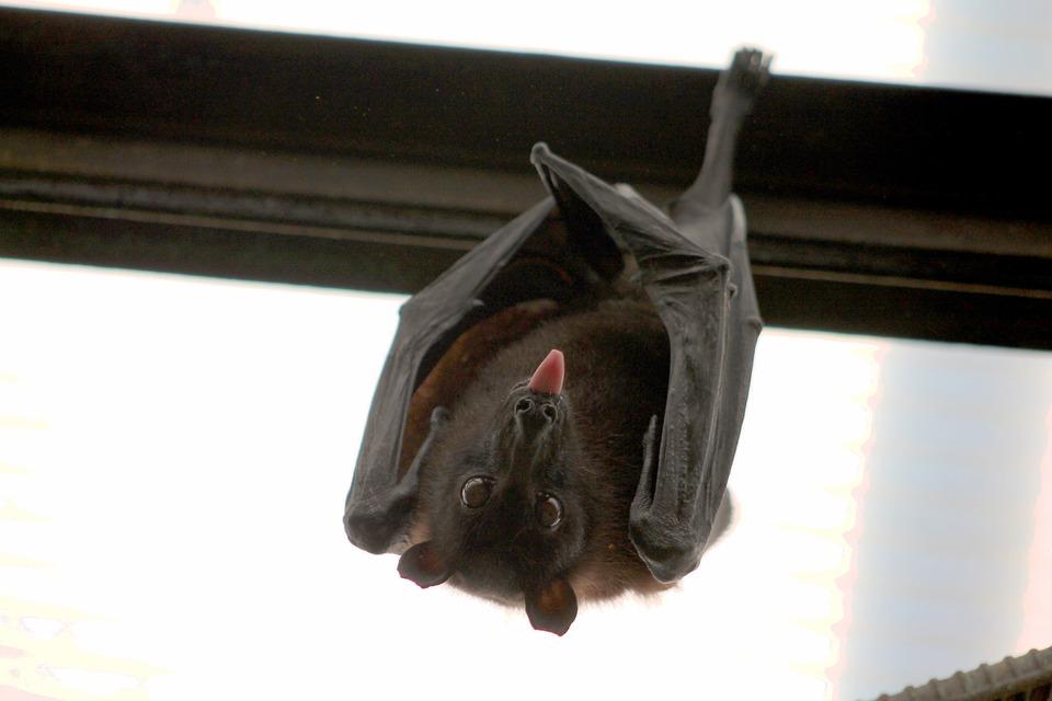 Vampire bat hanging upside down.
