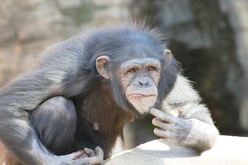 Mono, Chimpanzé, Primate, Penseur, Nice