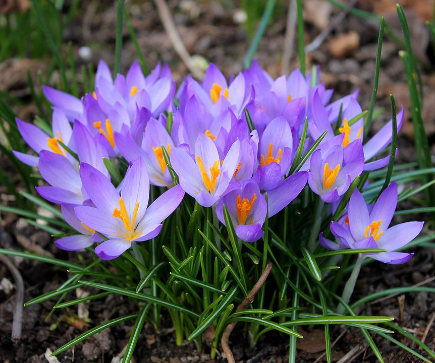 Crocuses easter spring free photo on pixabay crocuses easter spring flowers crocus flower bulbs mightylinksfo