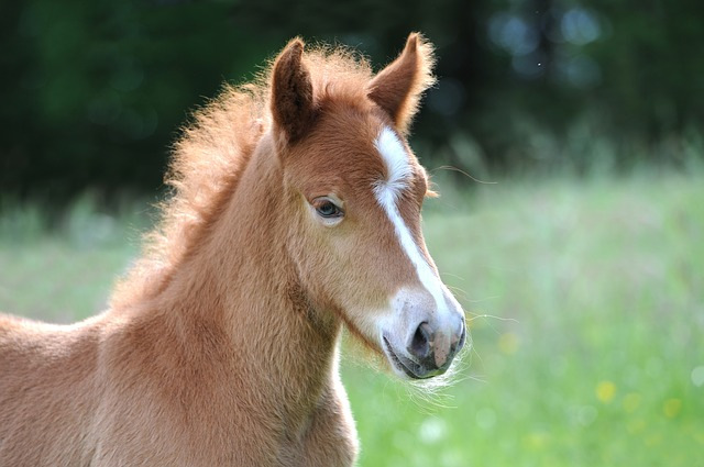 Free Photo Foal Iceland Foal Iceland Horse Free Image