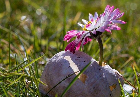 Gänseblümchen, Blume, Makro, Blüte