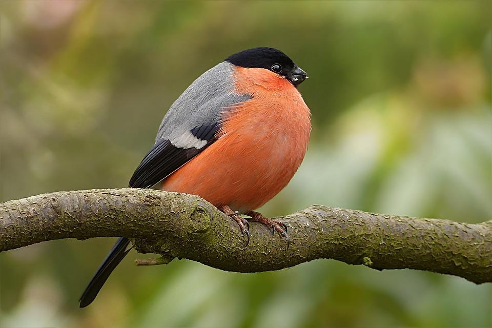 Gil Zwyczajny Pyrrhula Ptak Darmowe Zdjęcie Na Pixabay