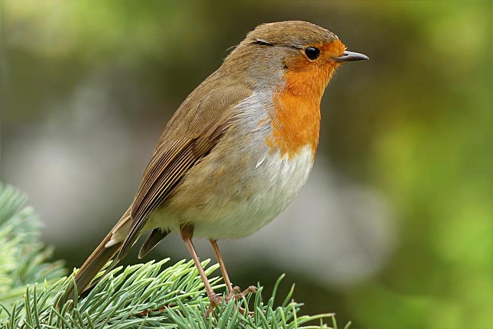 Robin Erithacus Rubecula Aves - Foto gratis en Pixabay