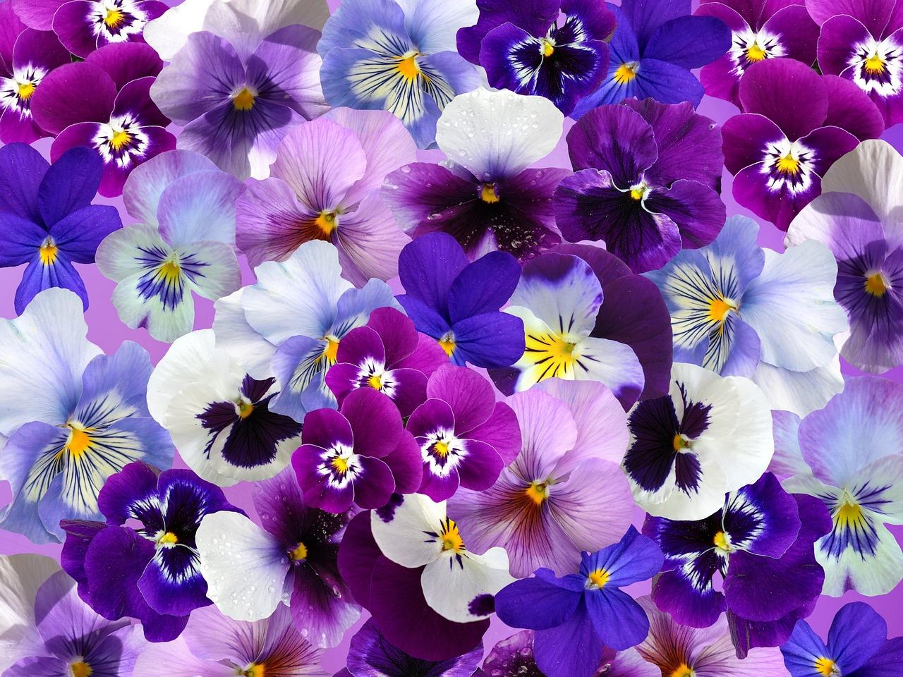 Открытки цветы анютина глазки
