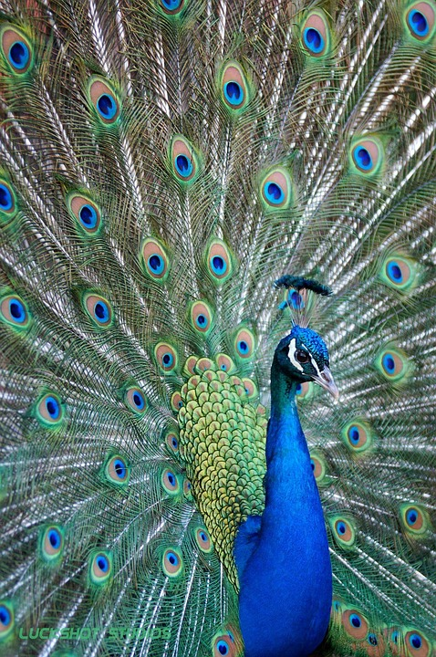 700 Gambar Burung Merak  Terbaik