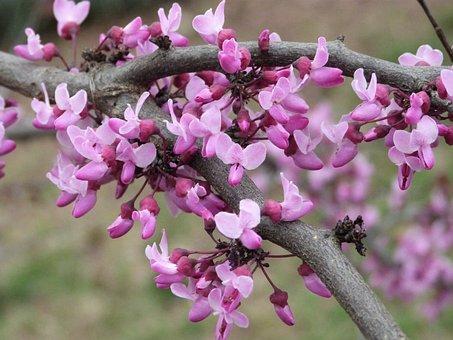 Pansy Redbud Bloom, Redbud, Flower, Pink