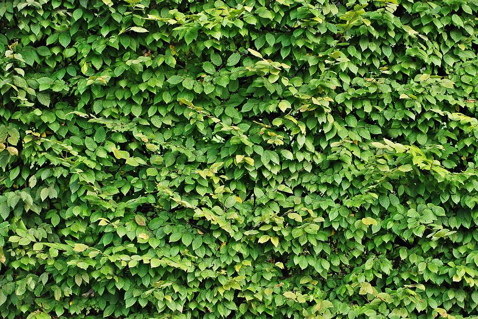 Free Photo Hedge Foliage Texture Green Free Image On