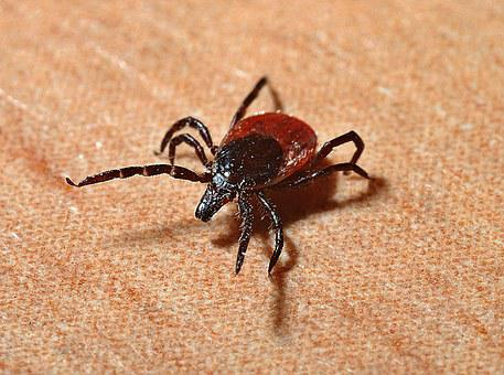 Tick, Lyme-Borreliose, Zecken, Beißen