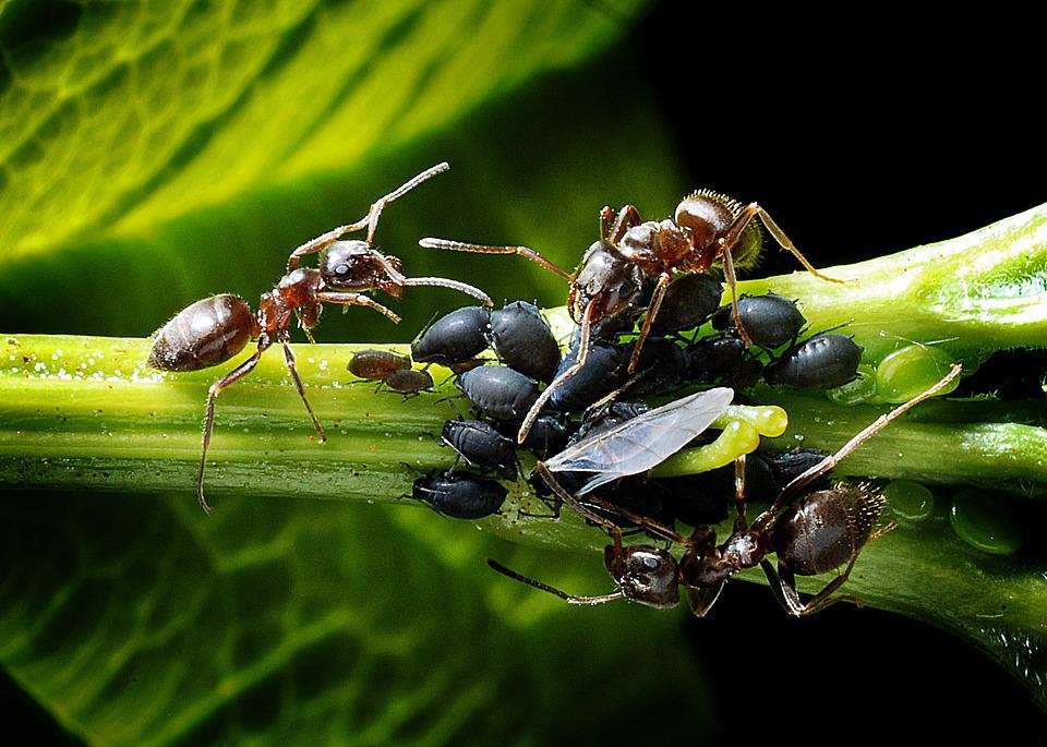 Ants, Aphids, Kennel, Leaf, Macro