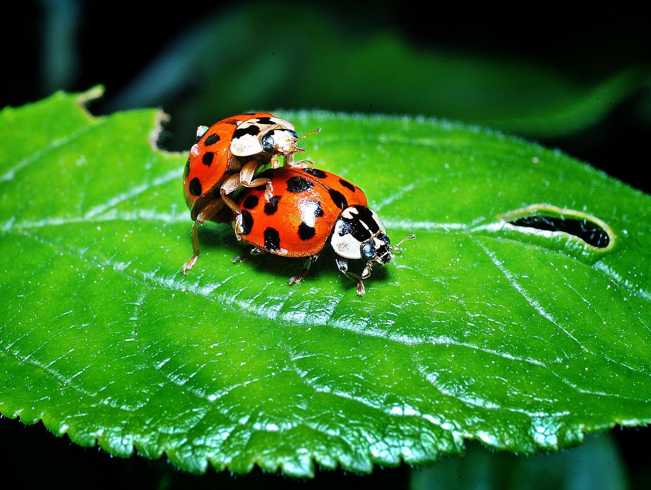 6 ciekawostek ze świata zwierząt - biedronki