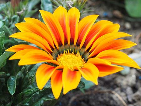 Gazanie, Fleur, Jaune, Orange, Bloom