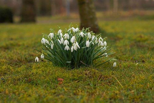 Hóvirág, Tavaszi, Virágok, A Tavasz