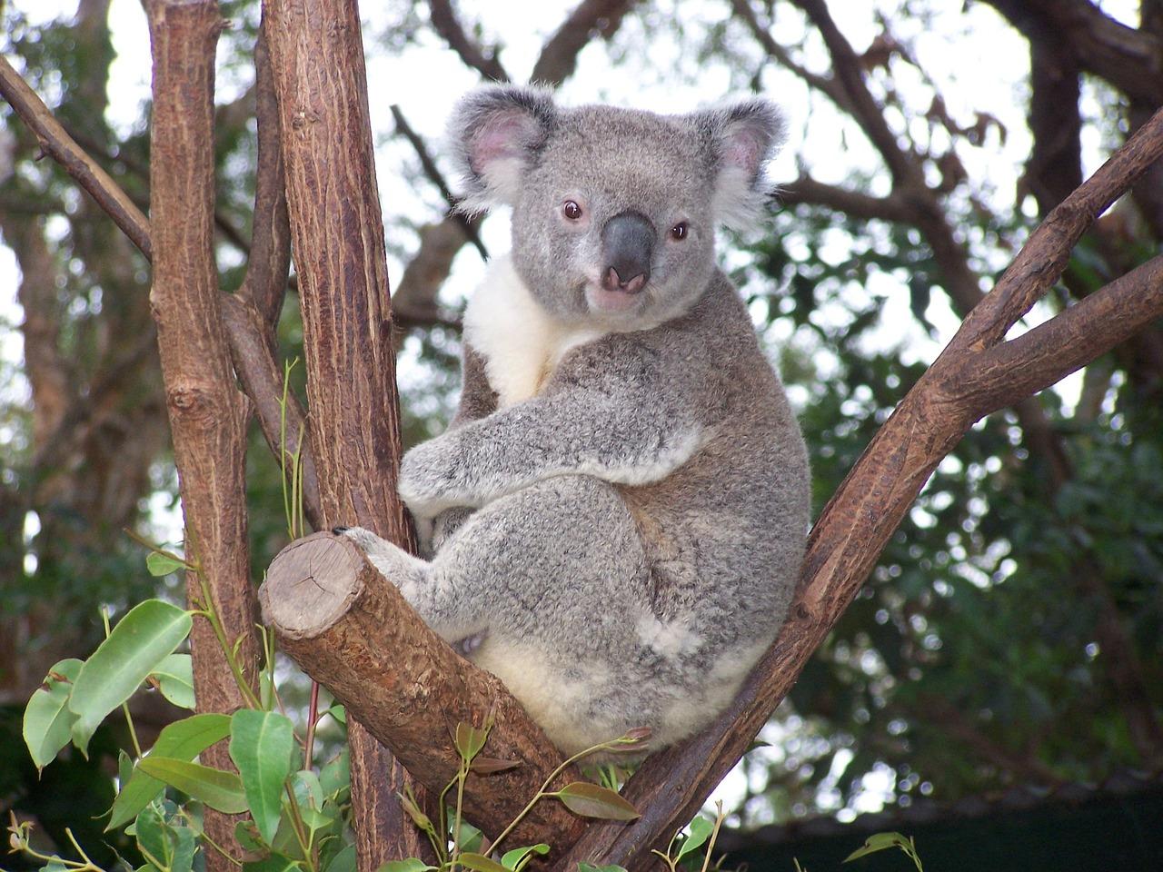 экспертиза смотреть фото коала рысь