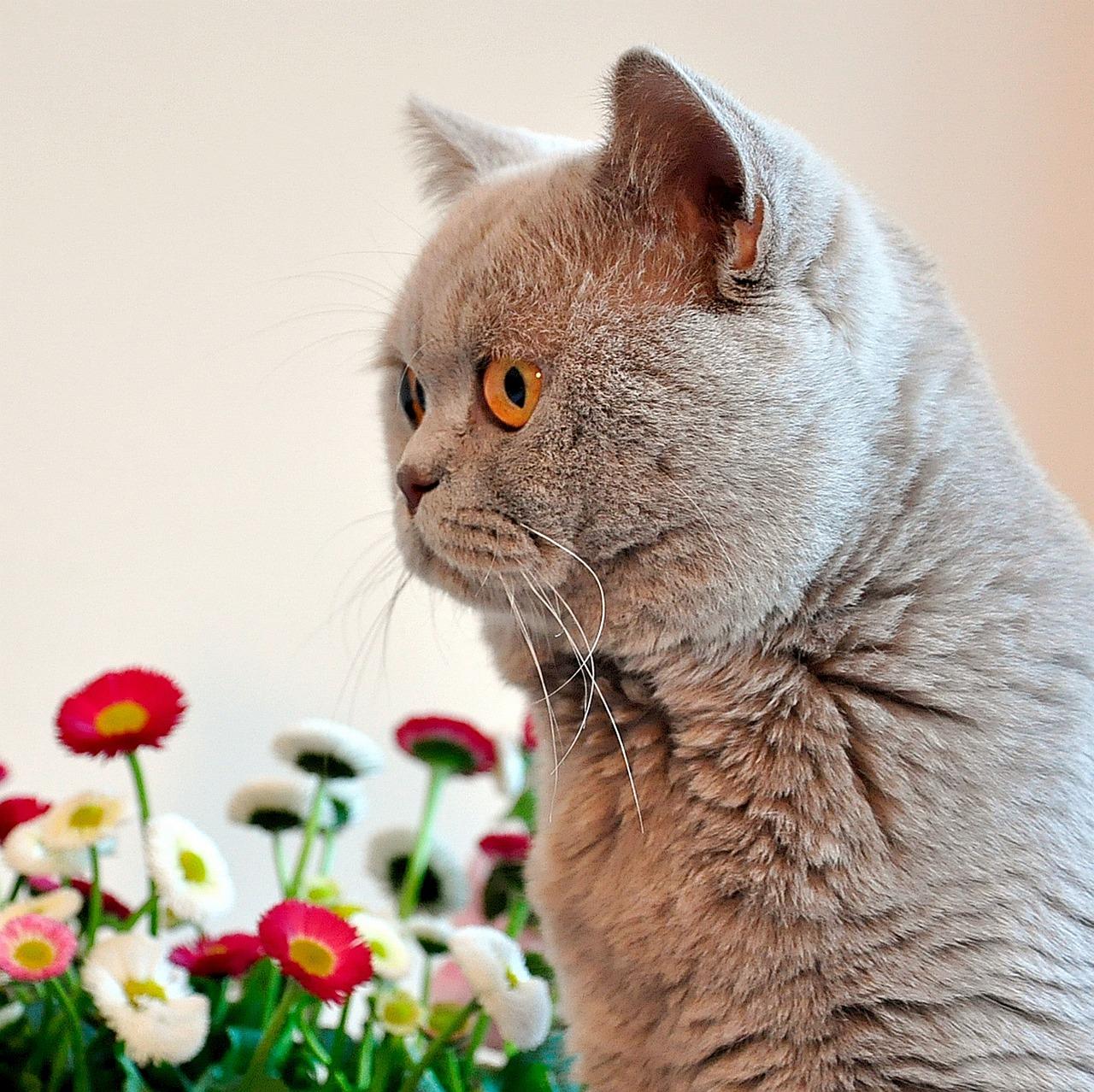 кошки фото красивые британцы летом