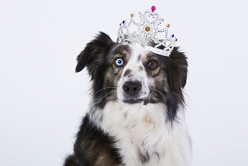 Dog, Crown, Funny, Purebred Dog, White