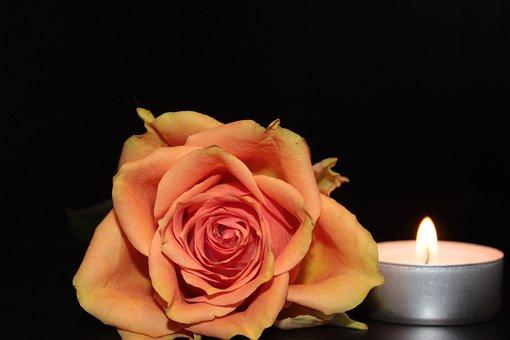 Rózsa, Kivirul, Rózsa Virágzik