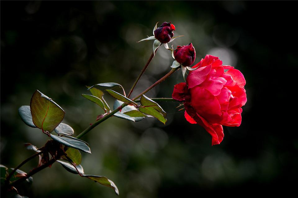 free photo properties, rose, flower, love, red  free image on, Natural flower