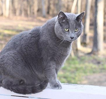 Cat, Pet, Domestic, Male, Large, Gray